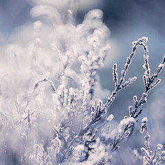 Frosty Heather & Cold Weather (~ Maria ~) Tags: morning blue light cold contrast frost dof bokeh heather frosty sparkling ljung callunavulgaris