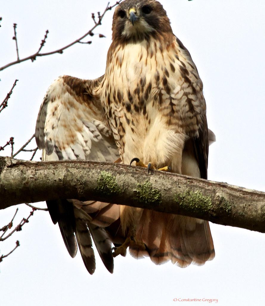 Hawk Salute