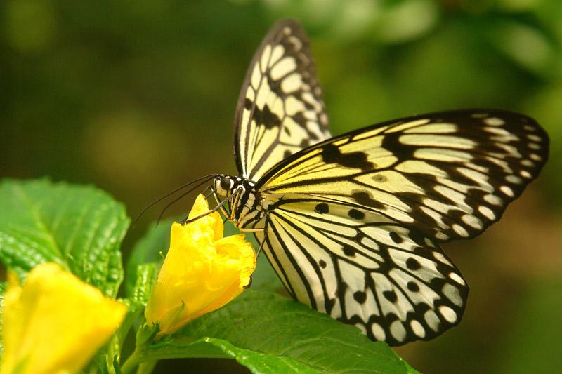 aruba butterfly
