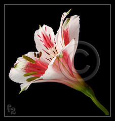 Alstroemeria (F-2) Tags: camera flowers light plants plant flores flower color colour macro green nature floral colors beautiful leaves rose closeup digital canon garden petals spring flora bravo colorful dof lily natural gardening flash flor blossoms petal 5d blooms fiori dslr fiore coolest alstroemeria lighttent 580ex strobe 2007 excellence naturesfinest thebigone 333views cotcmostinteresting supershot 100faves flowerotica outstandingshots flickrsbest 35faves lovelyphotos golddragon anawesomeshot aplusphoto flowerpicturesnolimits bratanesque macrophotosnolimits ysplix excellentphotographerawards jalalspagesnaturealbum 75faves eliteimages colourartaward theperfectphotographer
