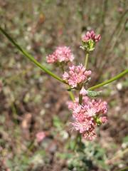 Cliff buckwheat