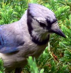 Close Up (Frozen in Time photos by Marianne AWAY OFF/ON) Tags: blue birds bluejays fbi cyanocittacristata naturesfinest backyardbirds birdsbirdsbirds newjerseybirds favoritesbyinterestingness bluejayspool