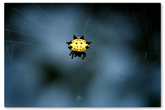 Jewel Box Orb Weaver (Thomas_McKane) Tags: macro spider d200 themoulinrouge animalkingdomelite abigfave sharingexposures