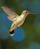 Humming Bird -2