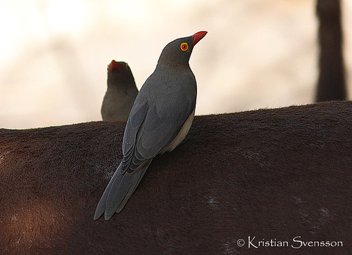 Red-billed Oxpecker (Buphagus erythrorhynchus) by macronyx.