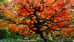 Cut-leaf Maple (2010) (bruce...) Tags: autumn red orange fall garden japanese maple nikon bc britishcolumbia places northvancouver catchycolor gnarled orton d300 cutleaf tamronspaf1750mmf28xrdiiildasphericalif parkandtilford catchycolororange alberoefoglia