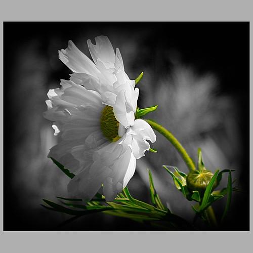 White & Green==[يــــاوردتي يـــانديه ]
