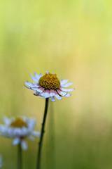 Paper Daisy (aussiegall) Tags: plant flower garden petals native australian paperdaisy everlastingdaisy sylvangrovenativegardens