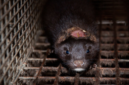Mink med avbitte ører og hodeskade. Foto: Nettverk for dyrs frihet & Dyrebeskyttelsen Norge