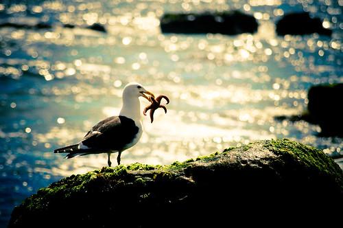 [フリー画像] 動物, 鳥類, カモメ科, カモメ, ヒトデ, 201011110700