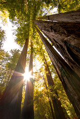 Redwood Chaos (Jeff Swanson -- www.interfacingnature.com) Tags: california trees hiking sunny flare giantredwood sunstar bigbasinredwoodsstatepark nikond200 sigma1020mmf456exdchsm acratechgv2 hoyahdcircularpolarizer clutteredcomposition continuingmytreeishtheme induroct213 wefoundsalamanders