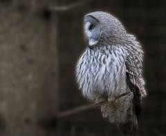 Lappuggla Nordens Ark Sweden (StefanOlaison) Tags: bird sweden ave owl sverige suecia strixnebulosa fgel lechuza bohus nordensark lappuggla