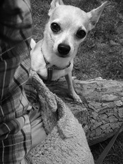 Hey There! (Angela.) Tags: park blackandwhite bw dog chihuahua blackwhite fuji lulu f10 explore chi finepix fujif10 explored incamerabw