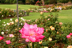 rose garden (artfilmusic) Tags: rose garden