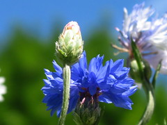 Bachelor's button (javadoug) Tags: blue flower nature button cornflower bachelors cyanus centaurea basketflower canong2 javadoug andboutonniereflowerisasmallannualfloweringplantinthefamilyasteraceae nativetoeurope
