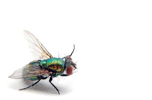 Fly Macro 1