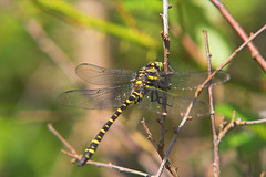 "Gold-Ringed Dragonfly (Cordulegaster (4) • <a style=""font-size:0.8em;"" href=""http://www.flickr.com/photos/57024565@N00/846370759/"" target=""_blank"">View on Flickr</a>"