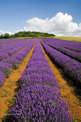 Norfolk Lavender (. Andrew Dunn .) Tags: uk england cloud flower field landscape bush perfume purple farming norfolk perspective lavender row crop eastanglia fragrance heacham northnorfolk lavenderfield challengeyouwinner superaplus aplusphoto