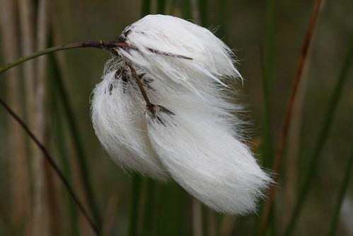 White Cotton Flower