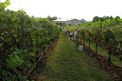 Grape harvest at Flat Creek Estate, Texas