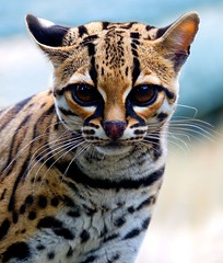Margay (sparky2000) Tags: cats nature animal animals cat mammal zoo scotland eyes feline edinburgh natural scottish bigcat mammals soe animalplanet naturalworld bigcats animalkingdom mammalia edinburghzoo wonderworld margay  supershot instantfave flickrsbest 25faves specanimal animalkingdomelite abigfave worldbest shieldofexcellence leoparduswiedii impressedbeauty superbmasterpiece superhearts sparky2000 platinumheartaward theperfectphotographer nginationalgeographicbyitalianpeople vosplusbellesphotos stuartreynolds stuartrobertsonreynolds robersonreynoldsphotography