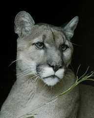 Portrait of a Mountain Lion (ucumari) Tags: animal mammal nikon north d70s september carolina puma cougar nczoo mountainlion 2007 blueribbonwinner northcarolinazoo supershot specanimal ucumari animalkingdomelite abigfave ucumariphotography platinumphoto impressedbeauty superbmasterpiece goldenphotographer diamondclassphotographer