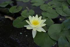 可愛い蓮の花