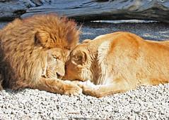 Love One Another (Toonie52) Tags: cats love animal oregon zoo lion animalplanet bigcats naturesfinest nuzzling wildviolets loveoneanother thebiggestgroup animaladdiction specanimal 10millionphotos anawesomeshot impressedbeauty