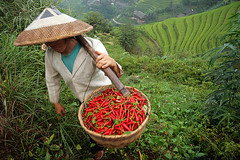 Red hot chili peppers (Pawel Boguslawski) Tags: china red woman hot green nature hat canon landscape pepper asia rice terraces worker guangxi pingan 400d cmwdred mainlanderchina