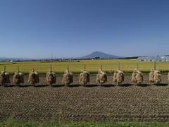 rice field (ridersobplus) Tags: field rice aomori inakadate