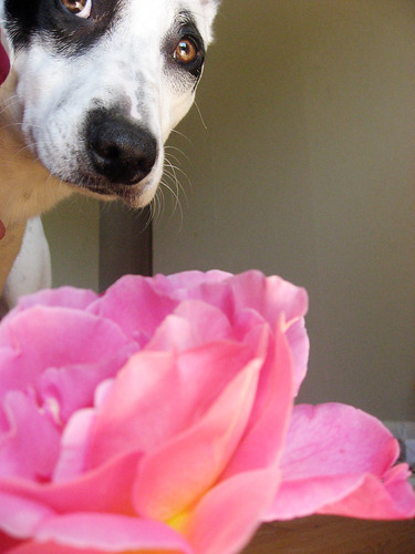 rose_thea01.jpg