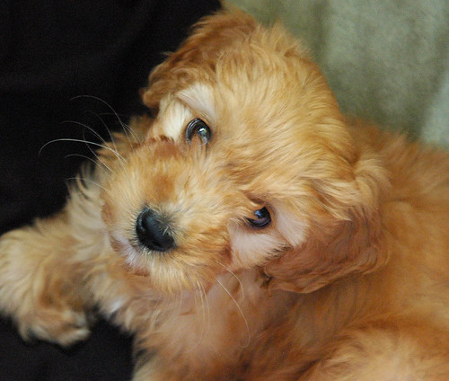 goldendoodle puppies pictures. the Golden Doodle Puppy