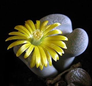 Flowering 'stones' - Lithops