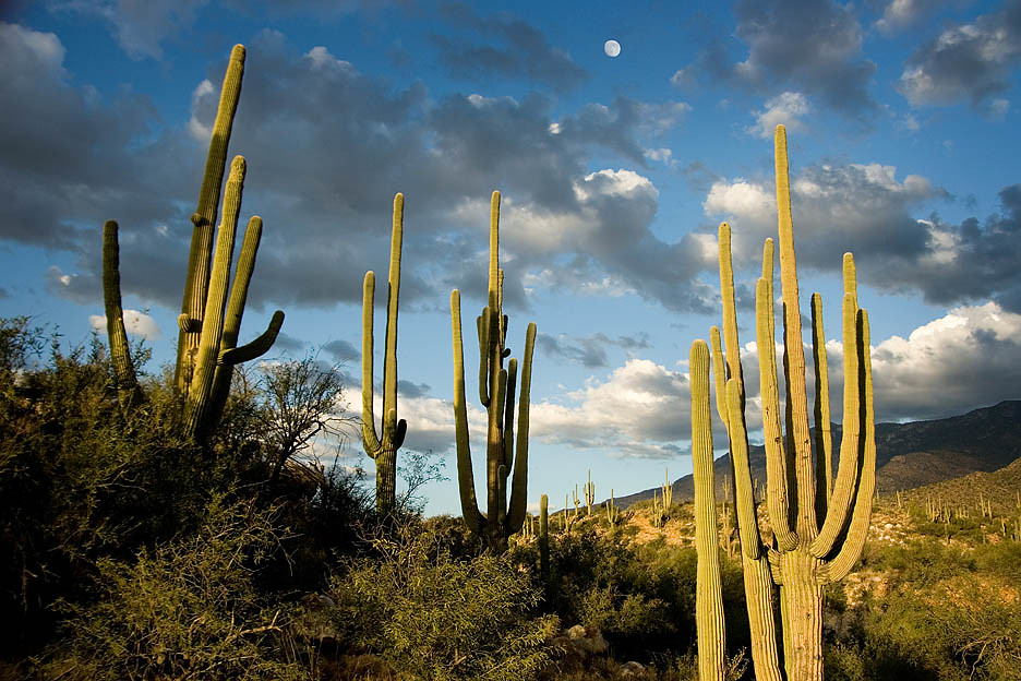 moon over saguaro
