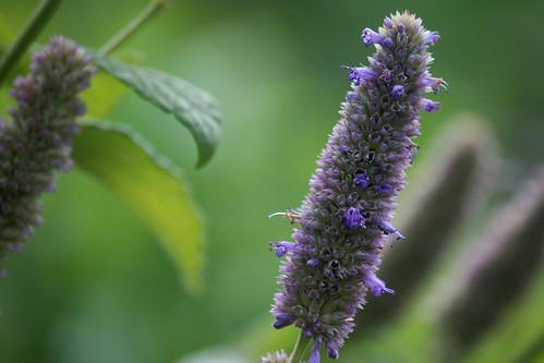 October hyssop flowers 2