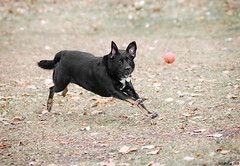My dog @ f/2.8 plus the ball (Rob McKay Photography) Tags: park autumn orange black calgary dogs leaves ball photographer mckay action air fast ears running rob airborn chasing offtheground wwwbokehensteincom wwwrobmckayphotographycom bokehensteincom robmckayphotographycom