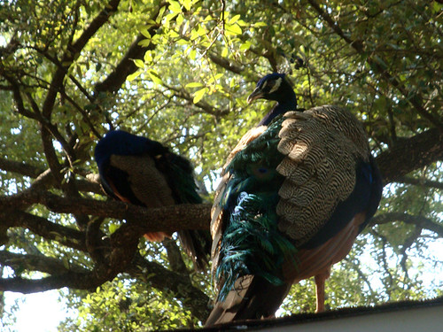 peacocks_tailfeathers