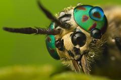 CRYSOPS RELICTUS  #16 (GOLDENORFE) Tags: macro insect horsefly macroextreme chrysops macromarvels macrolife crysopsrelictus macrolifeelite