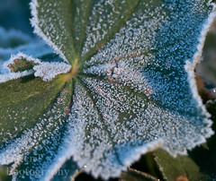 306/365-Another...Frosty Morning! (GarenT Photography) Tags: fall nikon frost 365 garen ladysmantle d90 nikond90 garent