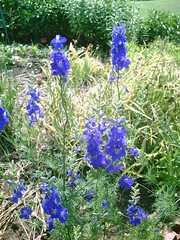 blue flower larkspur