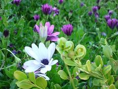 Daisies (nerdboy) Tags: white daisies purple sandiego balboapark