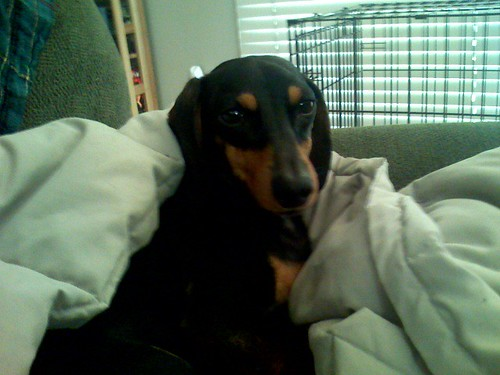 holli the doxie