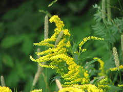 Goldenrod (clickclique) Tags: flower green nature grass yellow goldenrod canonpowershots3is citritgroup champagnemoments