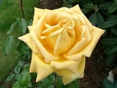 Mom's Yellow Rose