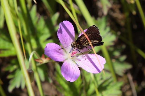 A butterfly sucking nectar