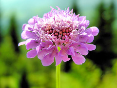 Pincushion flower on the mountain (Bn) Tags: mountain france mountains alps flower nature beauty flora vivid frankrijk alpen flaine bloem scabiosa excellence pincushionflower woh naturesfinest mywinners duifkruid naturefinest ishflickr macromix