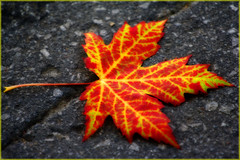 Leaves me alone (Luc Deveault) Tags: autumn red orange canada leave colors yellow jaune automne rouge interestingness maple seasons montral quebec montreal couleurs explore automn qubec luc rable saisons orton feuille blueribbonwinner supershot ortoneffect photosafarimtl superbmasterpiece virela2 virela3 virela4 virela5 virela6 virela7 virela8 virela9 virela10 virela1 psmajaune psm220907 deveault lucdeveault