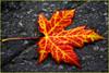 Leaves me alone (Luc Deveault) Tags: autumn red orange canada leave colors yellow jaune automne rouge interestingness maple seasons montréal quebec montreal couleurs explore automn québec luc érable saisons orton feuille blueribbonwinner supershot ortoneffect photosafarimtl superbmasterpiece virela2 virela3 virela4 virela5 virela6 virela7 virela8 virela9 virela10 virela1 psmajaune psm220907 deveault lucdeveault