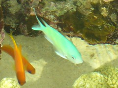 ライトブルーのお魚