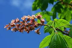 Red Horse-chestnut in bloom (photoholic image) Tags: flower bloom tree foliage leaf leaves aesculus redhorsechestnut marronnier aesculuscarnea afforestation plant green             platinumphoto